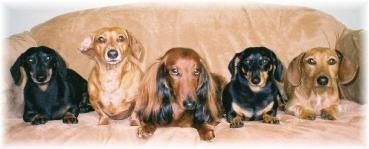 five dachsunds